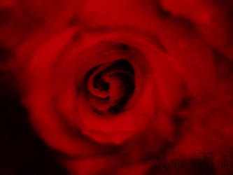 La Rose de Rouge by Kona-Yuki
