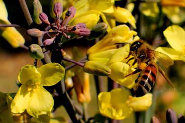 Bee on Brocalli Flower by StewartSteve