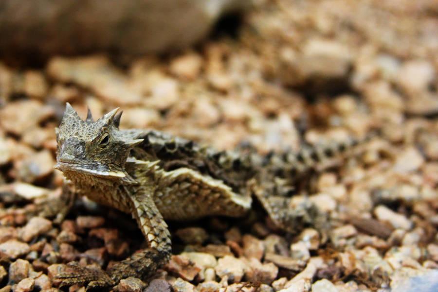 Horned Lizard by StewartSteve