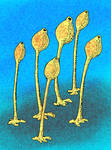 Siphonia tulipa by avancna
