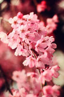 Cherry blossom by squalleden