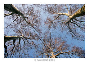 Plane Tree One by karenbirch