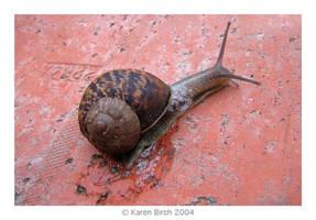 Daytime Snail by karenbirch