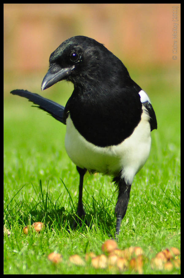 Cheeky Magpie by Somebody-Somewhere