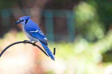 Blue Jay by robcwilliams
