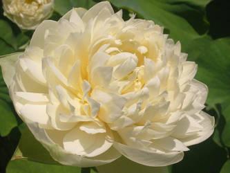 Peony Lotus by coffingirl