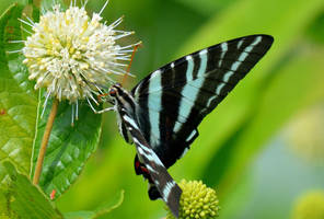 Butterfly Series (Zebra Swallowtail) by sioranth