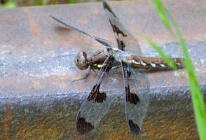 Dragonfly Series (Common Whitetail) by sioranth