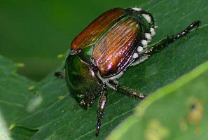 Japanese Beetle by sioranth