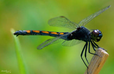 Dragonfly Series by sioranth