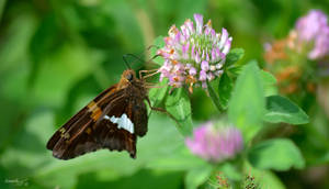 Butterfly Series (Silver-Spotted Skipper) by sioranth