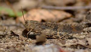 Carolina Locust by sioranth