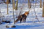 Fox - 2017 by Rigel59