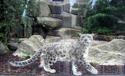 Snow Leopard by Cansounofargentina