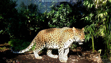North chinese leopard III by Cansounofargentina