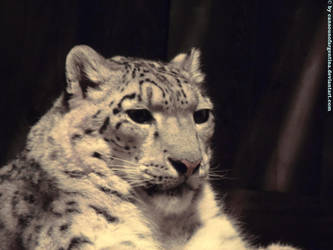 Snow Leopard VI by Cansounofargentina
