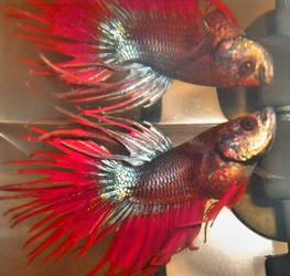 Beta Fish by multifandomed25
