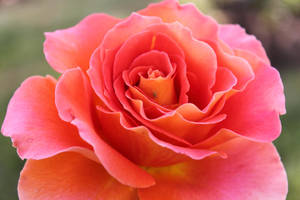 00095 - Peach Rose with Insect by emstock