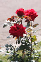 00092 - Red Roses by emstock