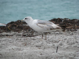 00056 - Seagull Extended by emstock