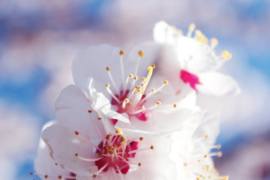 2017 - Abercoquer florit. by mylittlebluesky