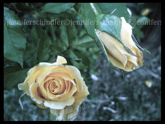 Roses in the Twilight by JennyLove