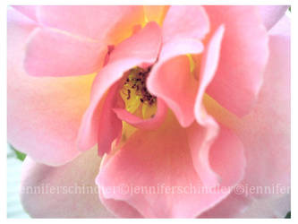 Rose by JennyLove