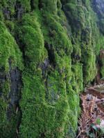 mossy tree 3 by aelthwyn