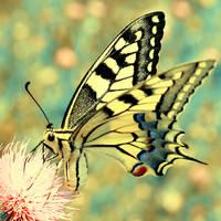 Papilio I by buzadam