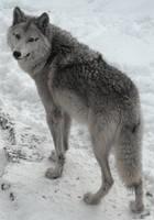 Wolf again by GreatNavigatorAfter