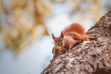 Red Squirrel by Mishu-Evil-Genius