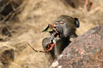 Baboon breakfast by Kbulder