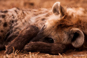 Hyena portrait by Kbulder