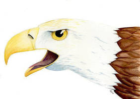 Bald Eagle Head by arikla