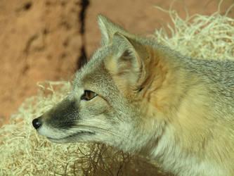 Little Fox by Tigerstar52