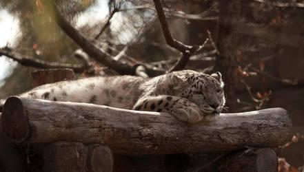 snow leopard by MrNudge