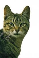 Stock Animal - Cat 1 by Carol-Moore