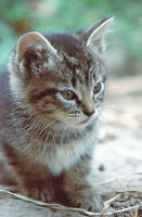 Stock Animal - Kitten 3 by Carol-Moore
