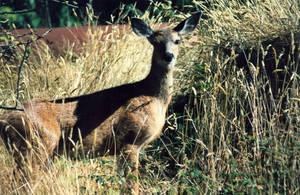 Stock Animal - Deer 1 by Carol-Moore