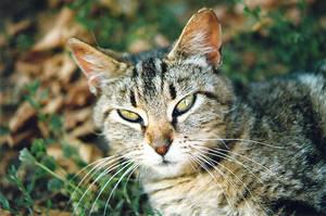 Stock Animal - Cat 3 by Carol-Moore