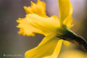 Easter Daffodil by Carol-Moore