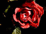 Red Rose Stock 3 by Carol-Moore