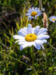 Oxeye Daisy Stock 1 by Carol-Moore