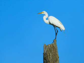 White Egret Stock by Carol-Moore