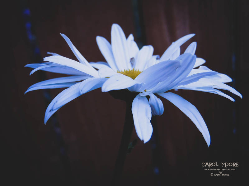 Purity by Carol-Moore