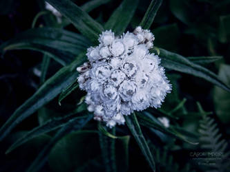 Pearly Everlasting by Carol-Moore