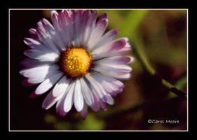 Daisy by Carol-Moore