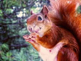 Squirrel by Altingfest