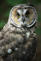 Long Eared Owl 2 by EdgedFeather