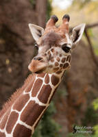 Giraffe 3 by EdgedFeather